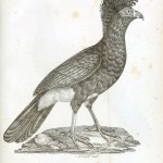 Animal - Bird - Chicken engraving