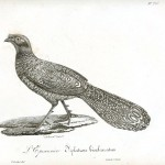 Animal - Bird - Pheasant engraving 1834