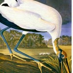 Animal - Bird - Stork - Audubon American Stork