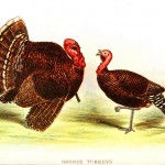 Animal - Bird - Turkey male and female