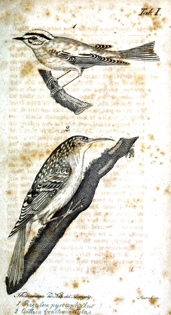 Animal - Bird - Woodpecker - Engraving