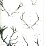Animal - Deer - Antlers, comparative anatomy 2