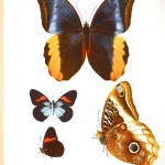 Animal - Insect - Butterflies - Educational plate 3