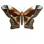 Animal - Insect - Butterflies - Moth 1