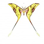 Animal - Insect - Butterflies - Moth 10