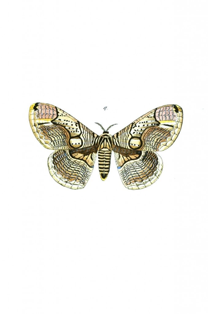 Animal - Insect - Butterflies - Moth 13
