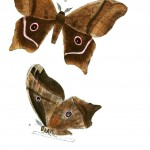 Animal - Insect - Butterflies - Moth 39