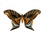Animal - Insect - Butterflies - Moth 4