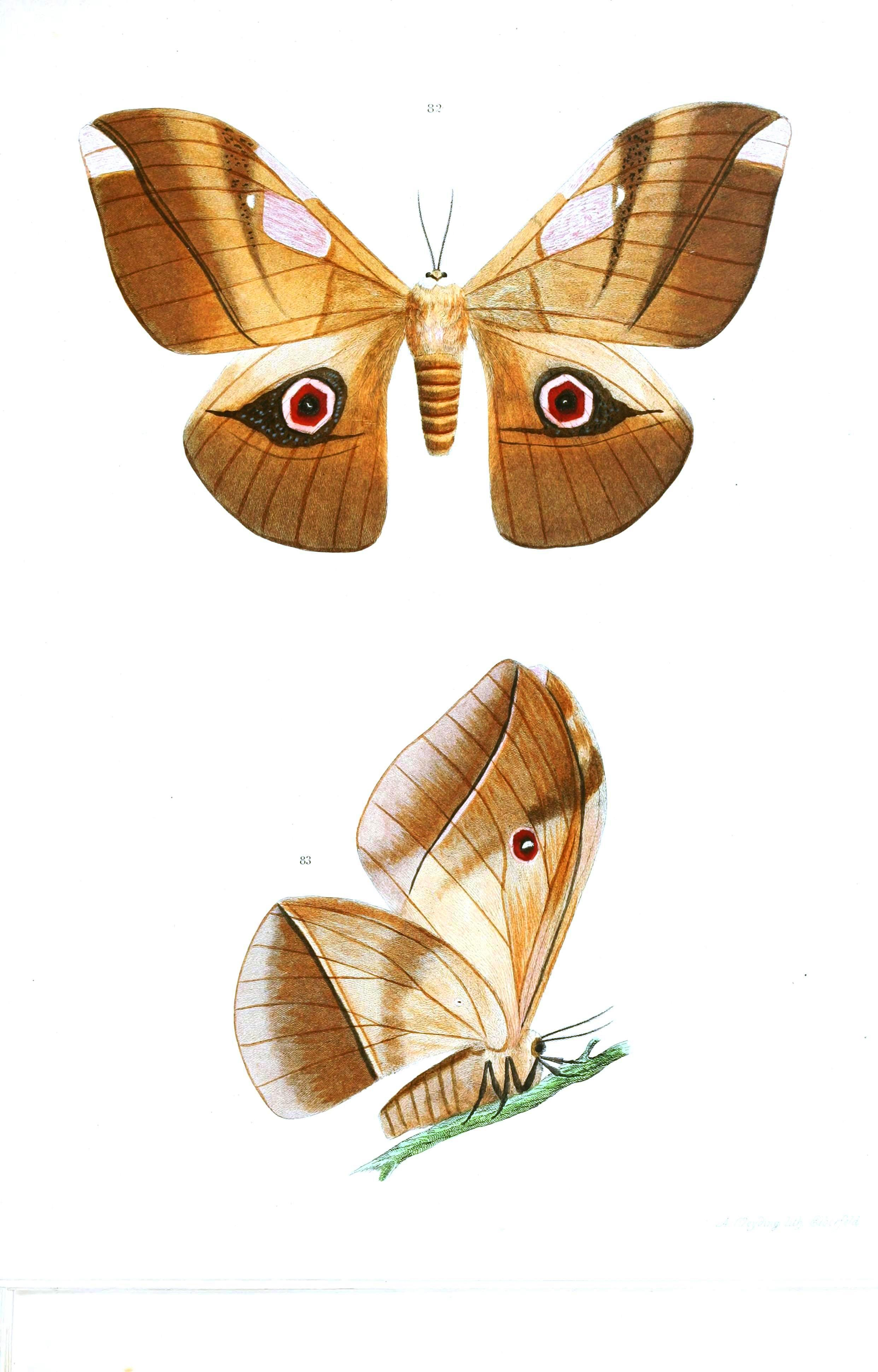 Animal - Insect - Butterflies - Moth 40
