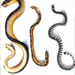 Animal - Reptile - Snake - Sea snakes