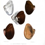 Animal - Sea Shell - Bivalve drawing 5