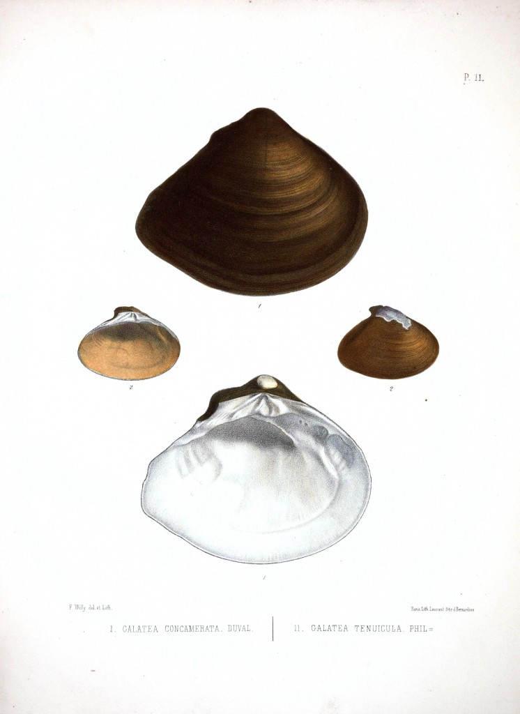 Animal - Sea Shell - Bivalve drawing 8