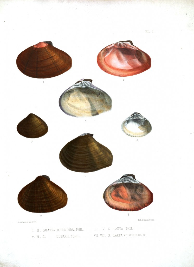 Animal - Sea Shell - Bivalve drawing 9