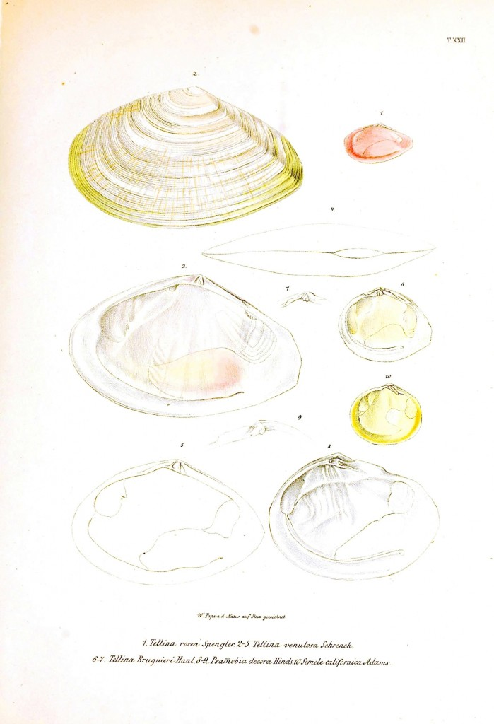 Animal - Sea Shell - Bivalve, Pink