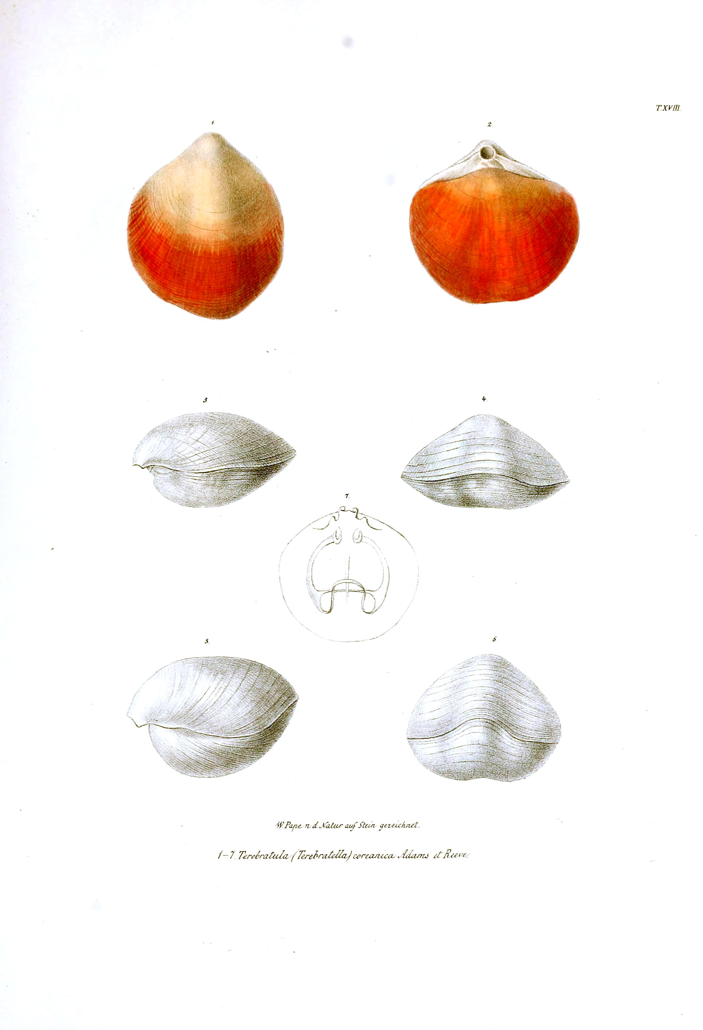 Animal - Sea Shell - Bivalve, orange