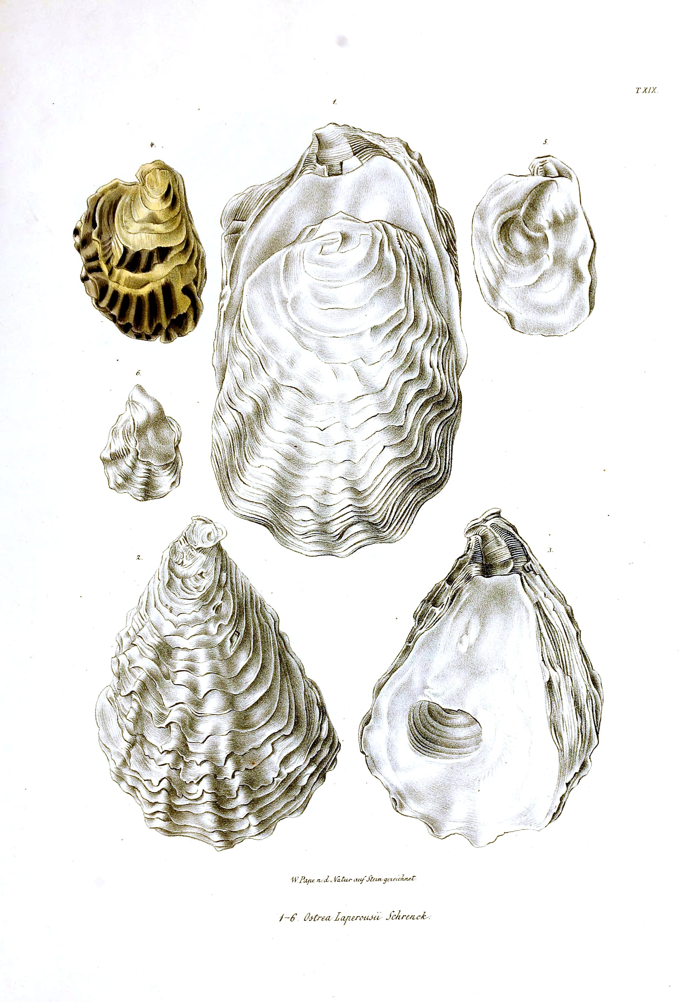 Animal - Sea Shell - Oyster shells