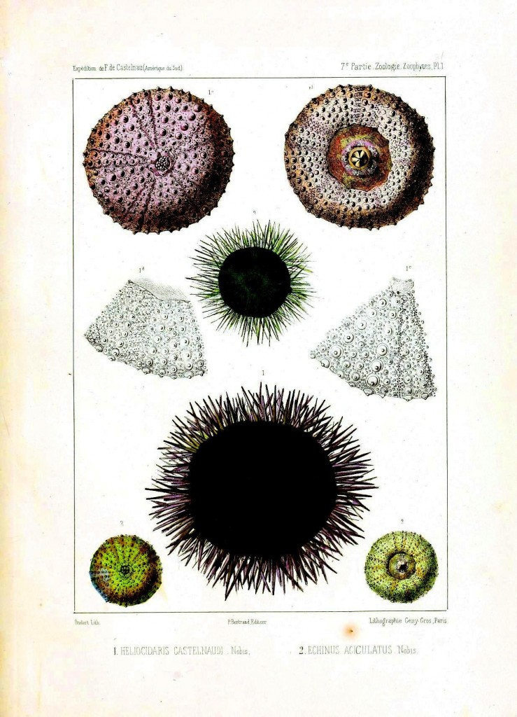 Animal - Sea Shell - Sea urchins