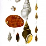 Animal - Sea Shell - Variety, Nautillis