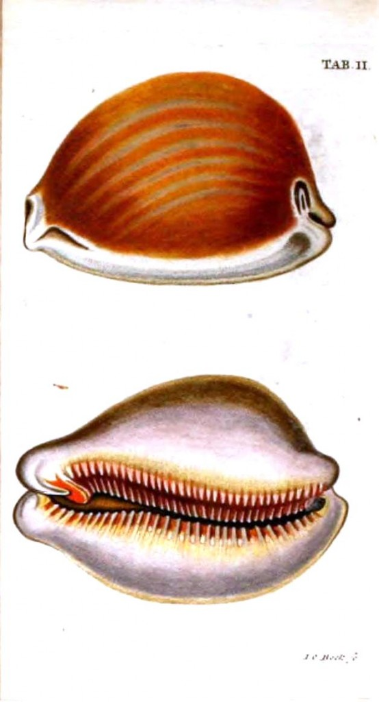 Animal - Sea shell - Illustration 1789