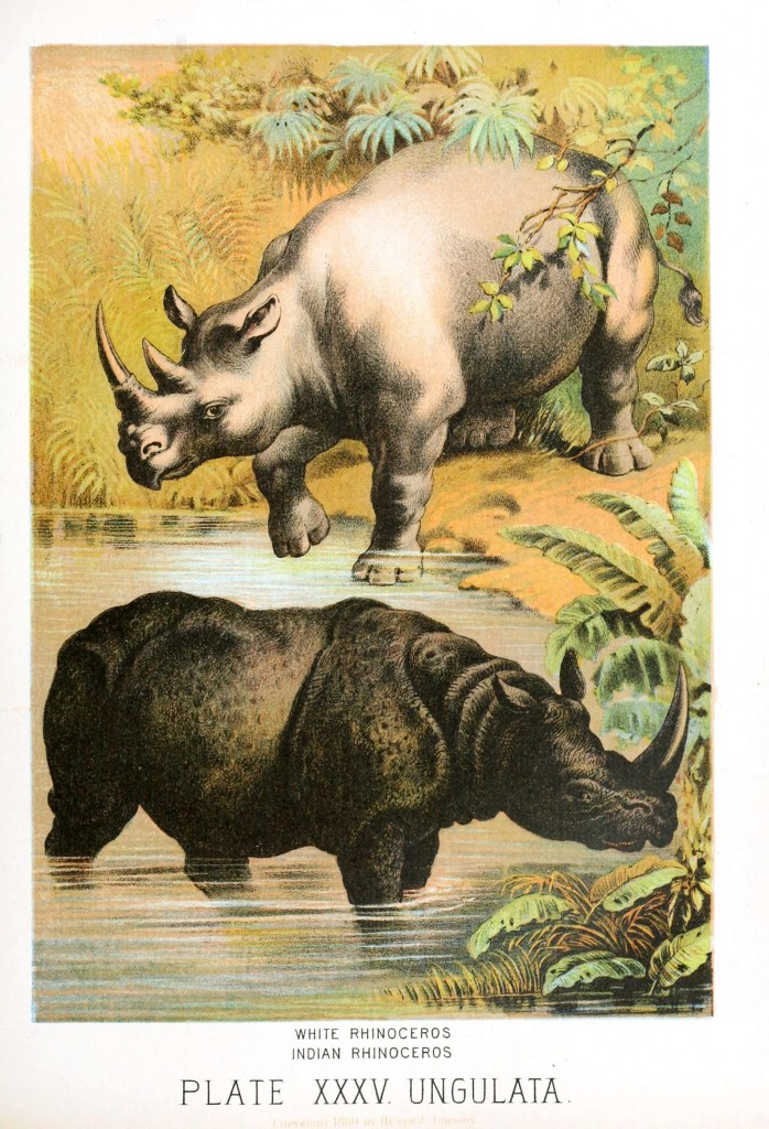 Animal - Wild - Rhinos white and black