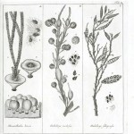 Botanical - Black and white - Islandic algae 8