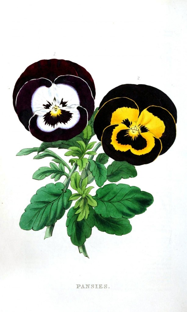 Botanical - Flower - Pansies
