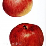 Botanical - Fruit - Apple varieties 1