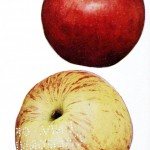 Botanical - Fruit - Apple varieties 2