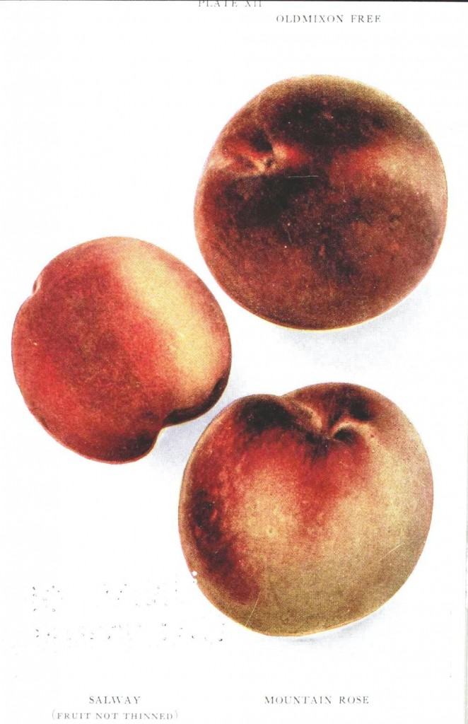Botanical - Fruit - Peach Varieties 1