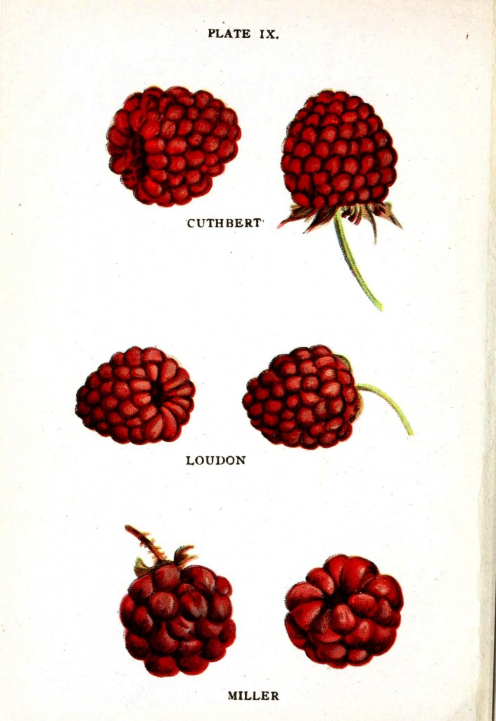 Botanical - Fruit - Raspberry varieties 1