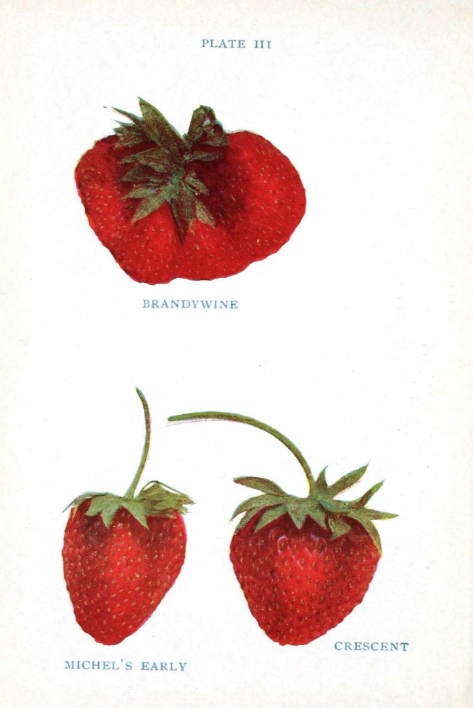 Botanical - Fruit - Strawberry varieties 2