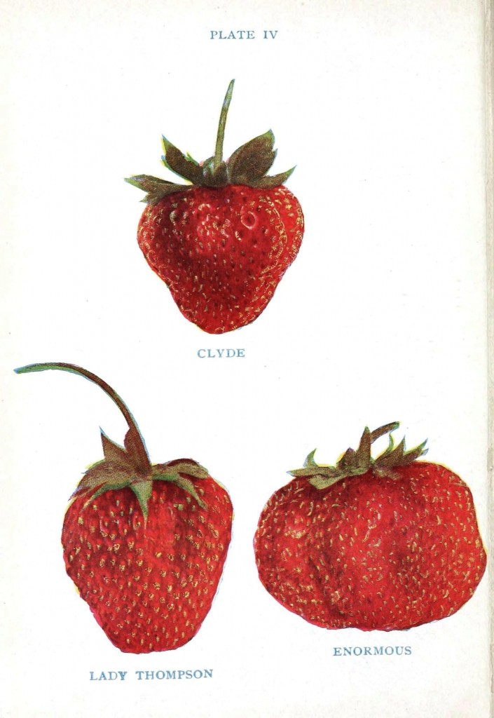 Botanical - Fruit - Strawberry varieties 3