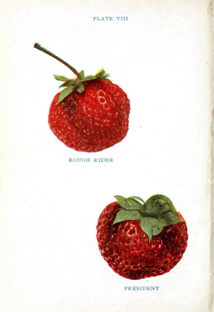 Botanical - Fruit - Strawberry varieties 7