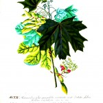 Botanical - Tree - Maple leaves and reproductive organs