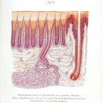 Microscopic - Blood vessels - Pig blood vessels