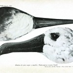Animal - Animal head - Bird - Albatross head