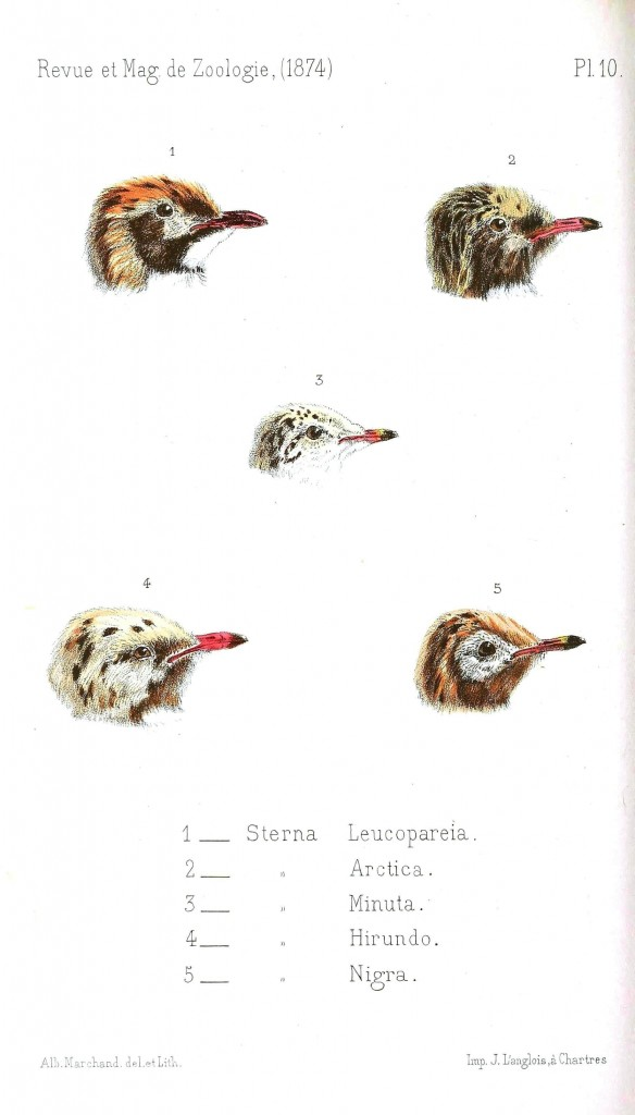 Animal - Animal head - Bird heads, various