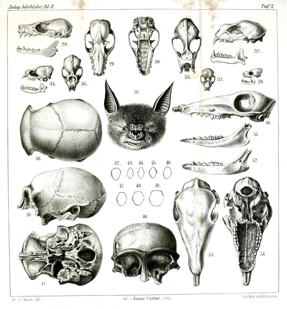 Animal - Animal head - Comparative anatomy, skulls