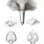 Animal - Animal head - Echidna brain anatomy