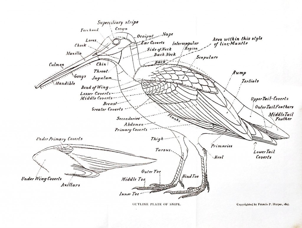 Animal – Bird – Anatomy of a snipe | Vintage Printable at ...