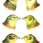 Animal - Bird - Bird coloration, face 2