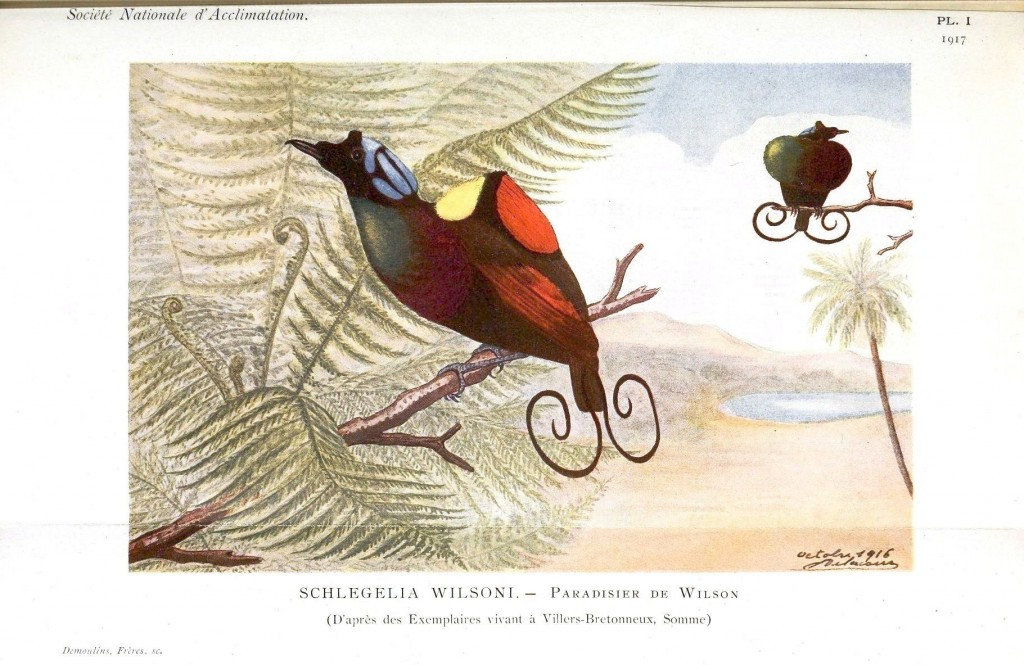 Animal - Bird - Bird of Paradise, Wilson's