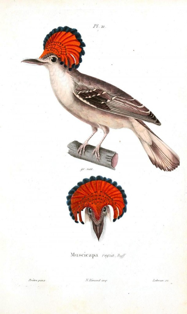 Animal - Bird - Bird with red head plumage