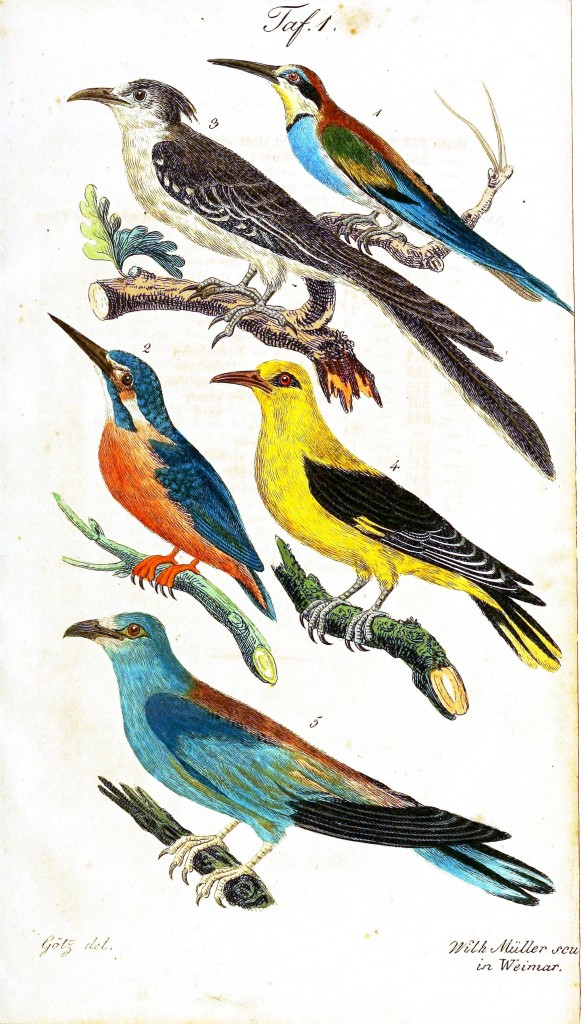 Animal - Bird - Birds, colorful, plate 1