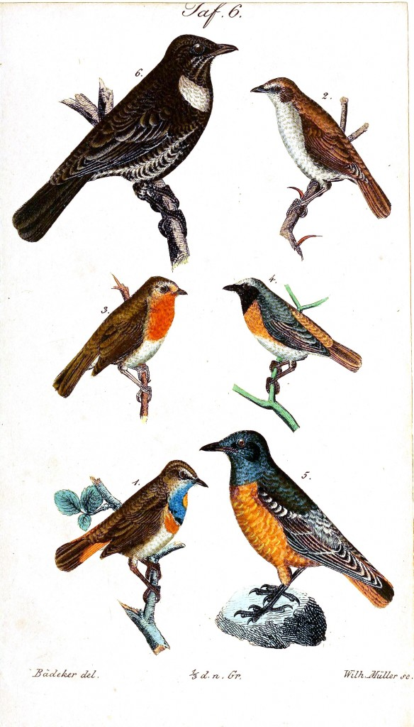 Animal - Bird - Birds, colorful, plate 6
