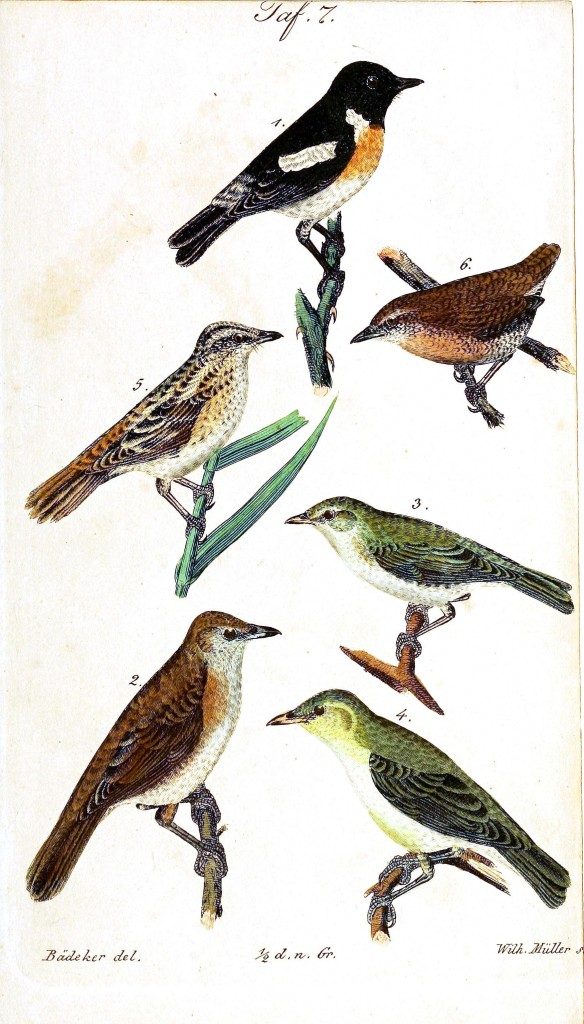 Animal - Bird - Birds, colorful, plate 7