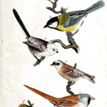 Animal - Bird - Birds, colorful, plate 8