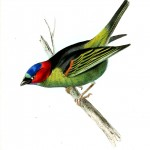 Animal - Bird - Birds of Brazil 1
