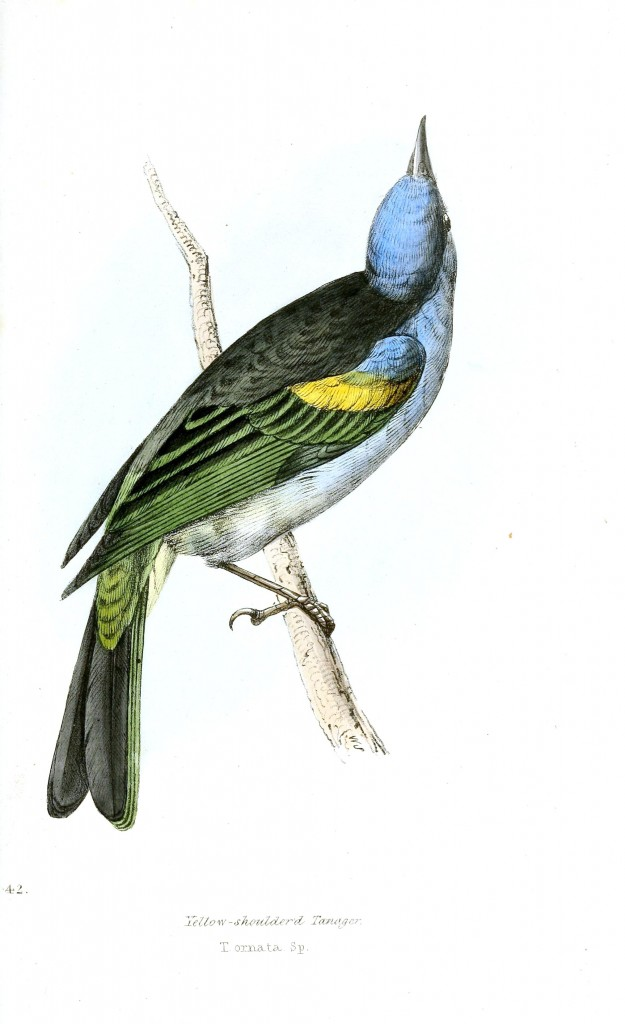 Animal - Bird - Birds of Brazil 14