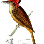 Animal - Bird - Birds of Brazil 15